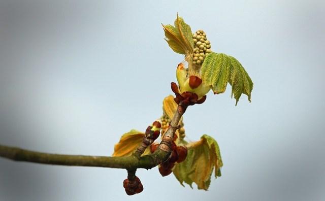 Horse Chestnut Bud