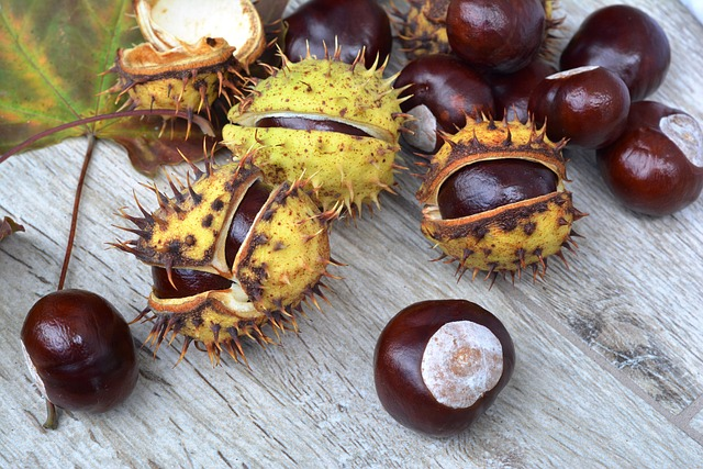 Horse Chestnut Conkers