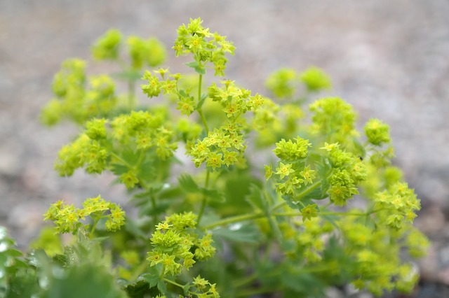 Lady's Mantle - Menopause