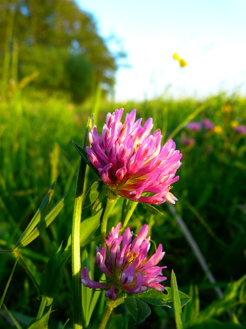 Red Clover - Menopause Herb