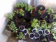 Semillero de tomates de cerca