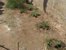 Plantas de melones