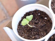 Planta de pepino africano kiwano