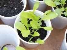 Plantas de lechugas