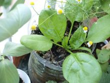 Planta de espinacas