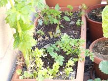 Apio, tomatera y pimientos