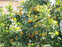 Limonero cargado de limones