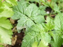 Tomatera afectada por jabón potásico