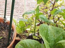 Planta de pimientos desconocida (piquillo o campana)