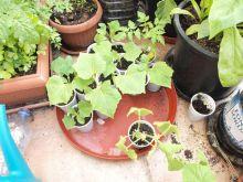 Semillero de pepino kiwano