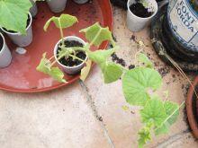 Planta de kiwano