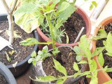 Planta de pimientos de padrón (y pepinos españoles)