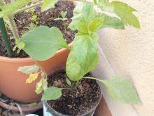 Planta de pimientos dulce italiano