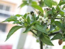 Flores de chile amashito
