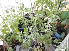 Planta de tomates cherry maskotka