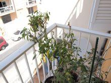 Planta de pimientos