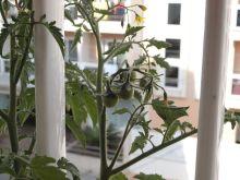 Planta de tomates cherry