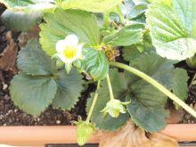 Flores blancas de los fresones