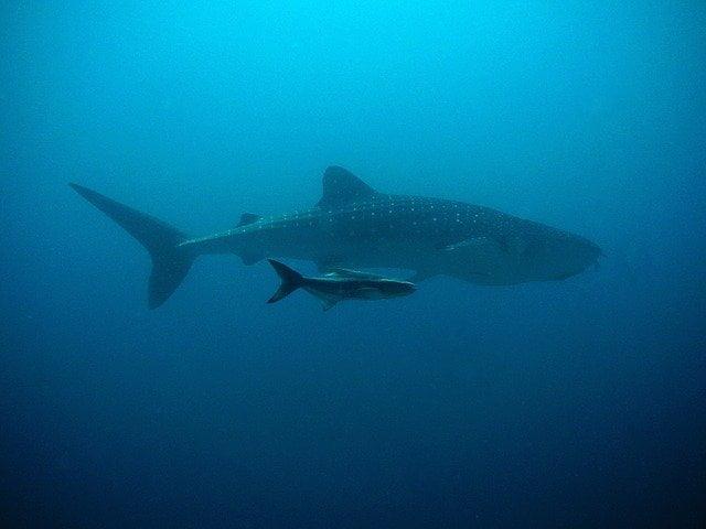 une baleine et un requin dans le bleu profond de l'océan