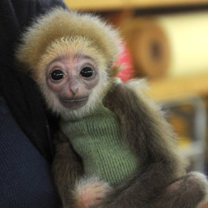 CUTENESS OVERLOAD: Baby White-Handed Gibbon Adorably Annoys Cat