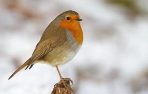 SCIENCE GEEK: Learn All About the European Robin's Behavior…As Acted Out By Humans (Video)