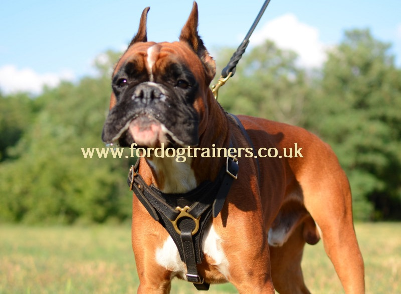 Boxer Harness Uk Leather Brass