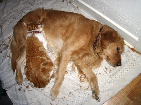 dog collar for golden
