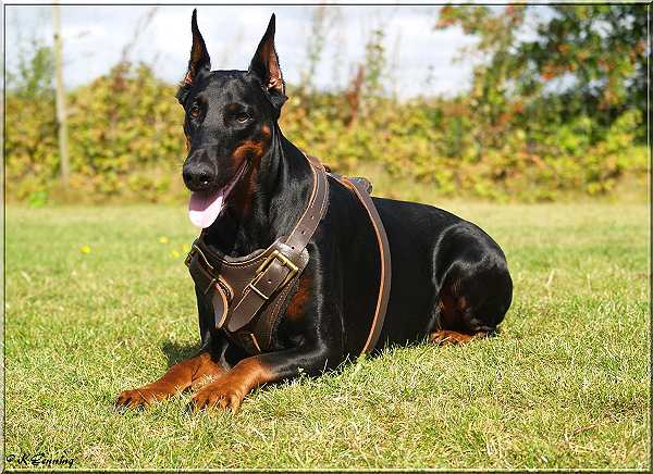 Luxury Leather Dog Harness