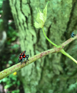 Spotted Lantern Fly (photo: Brad Wentworth)