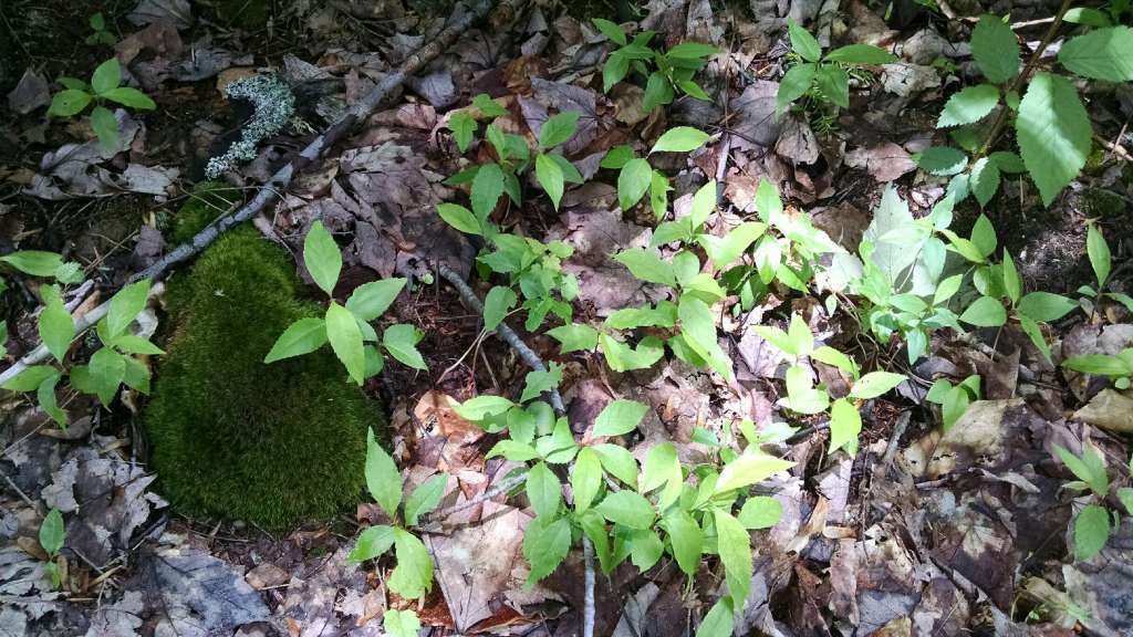 Healthy first year black cherry seedlings found protected under beech & birch brush and hemlock