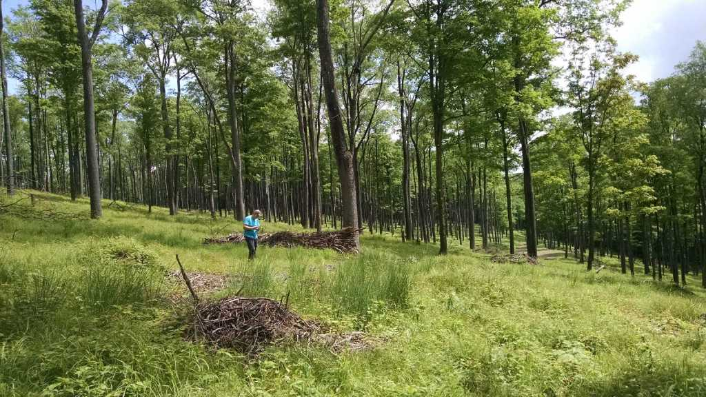 FORECON forester Dan Ludwig evaluates black cherry regeneration for leaf spot in a phenomenal pure black cherry shelterwood stand on a Forest Investment Associates property in McKean County, PA