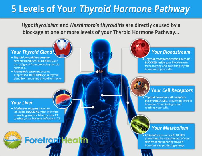 Инфографика гормонов щитовидной железы