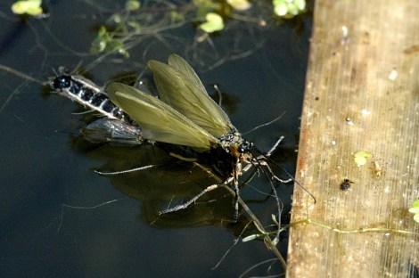 Schlüpfende Köcherfliege © James Lindsey's Ecology of Commanster Site