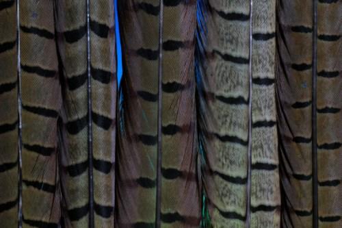 BOC PTN Pheasant Tail Feather