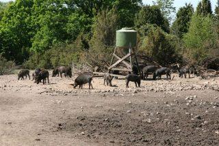 Dziki to dobry interes dla właściciela gruntów.