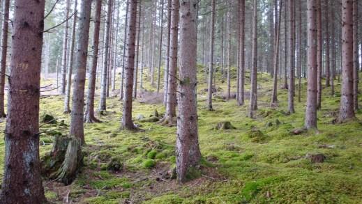 jakość drewna w drzewostanach naturalnych vs. gospodarczych