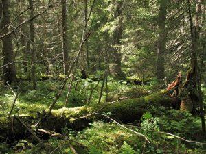 Od lasu naturalnego do ugoru drzewnego.