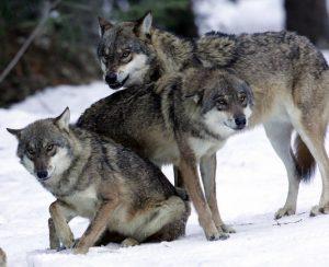 Wilki mają pecha. Do człowieka.