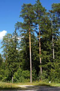 Leśne gospodarstwo ekologiczne - Nowy sposób hodowli sosny w półcieniu.