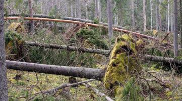 Prawie połowa prywatnych lasów w Finlandii jest nieubezpieczona.