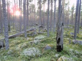Zabawy szwedzkich lasów państwowych