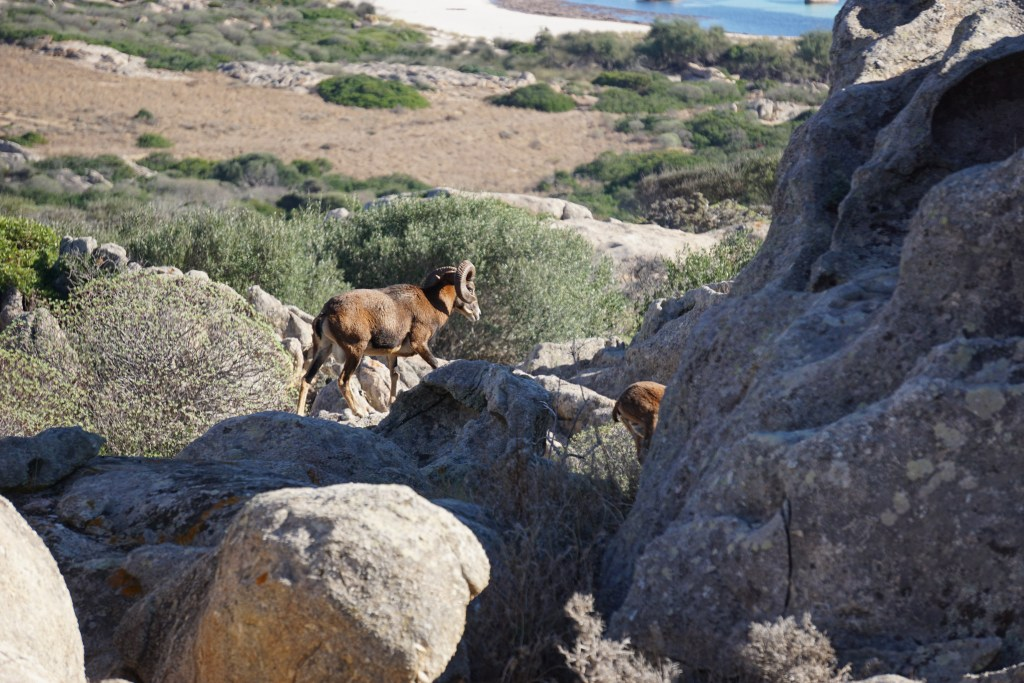 Mouflon on the Asinara island