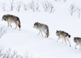 Polski wilk o imieniu Bambi