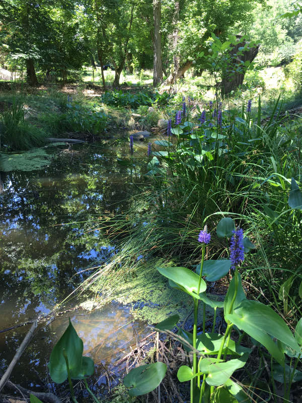 The violet-blue-flowered pickerelweed, along with other water-loving plants, rims the shallow pool edges, holding the soil in place while filtering sediments and other pollutants carried in stormwater.