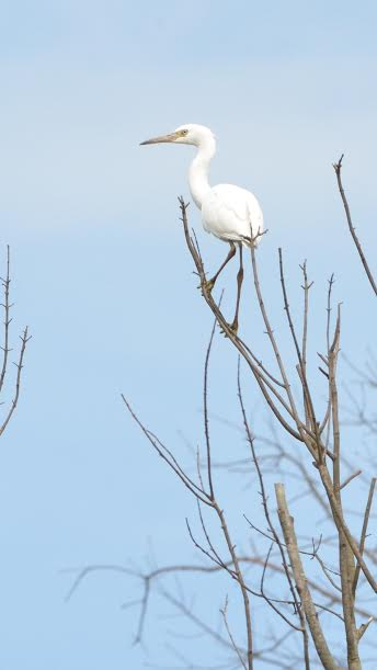 A great white egret in a tree