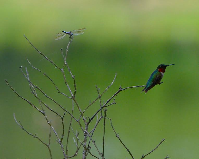 A hummingbird and a dragonfly