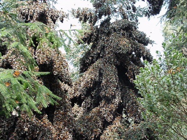 The Monarchs who end up in Forest Hills, DC and points north start their journey in Mexico. Here, the butterflies completely cover some trees in their winter site outside of Angangueo, Michoacan, Mexico.