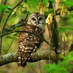 A barred owl like the one spotted by our neighbor. (photo courtesy of the Fish & Wildlife Service, fws.gov)