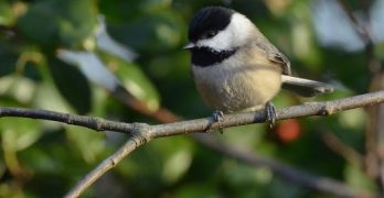 Backyard Nature: How do tiny chickadees survive the frigid cold?