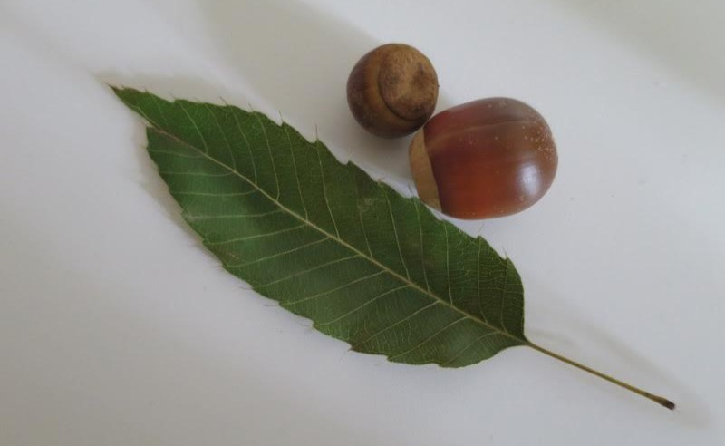 Another rewarding find is the Alleghany Chinkapin. The nuts are sweet and similar to those of a chestnut tree. (photo by Marlene Berlin)